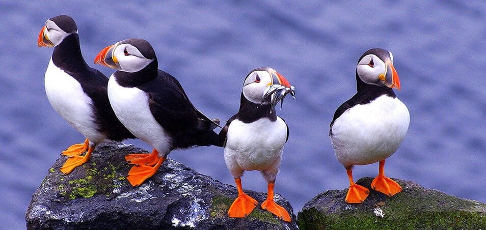 Iceland puffins - friend in iceland